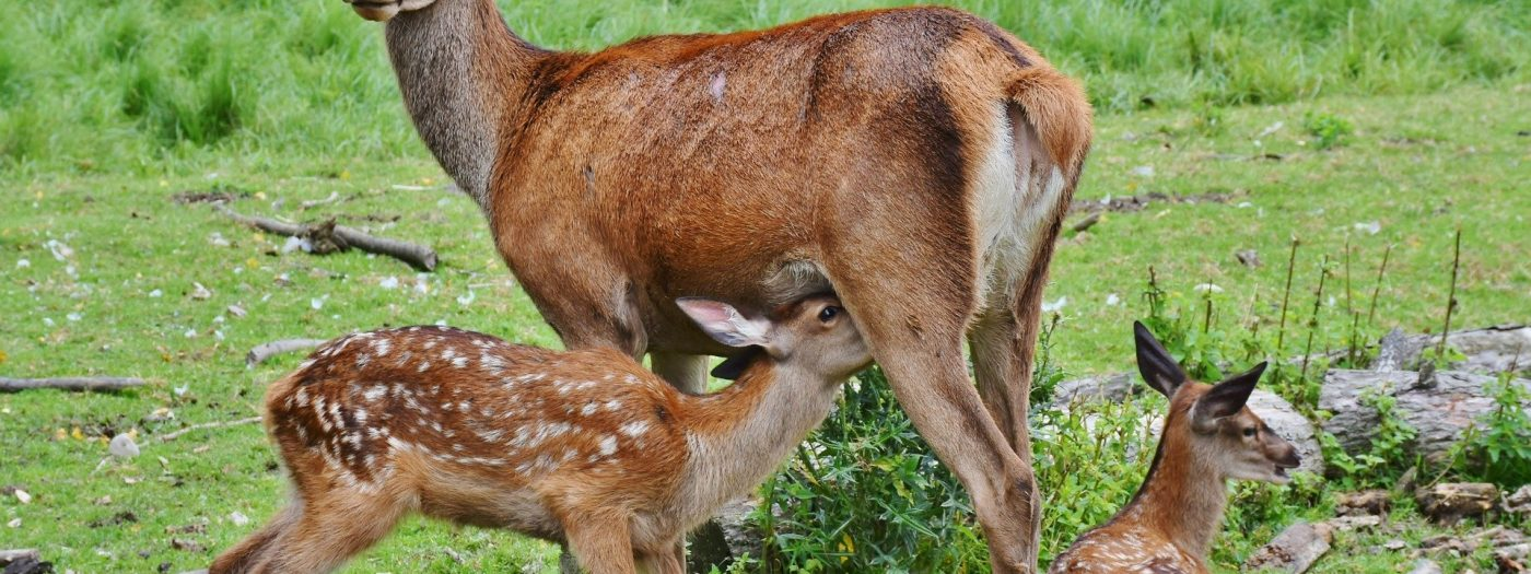 roe-deer-2549613_1920